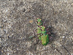 Green tiger beetle pair (louise in northumberland) Tags: northumberland beetle coleoptera identified tigerbeetle blanchland