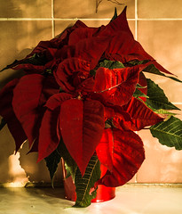Poinsettia brachts. (atone13) Tags: nature potplant poinsettia brachts availablelight samyangaf45mmf18 sony a7rii handheld