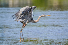 Ready For Take Off (DaPuglet) Tags: greatblueheron heron herons blue bird birds animal animals nature wildlife wildbirds river riverrainpark riverrain ottawa ontario wadingbirds wetlands great marsh canada northamerica beak feather fly flying flight water takeoff liftoff ardeaherodias ardeidae specanimal sunrays5 specanimalphotooftheday coth5