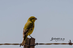 Yellow Canary, Gariep area, Eastern Cape, Oct 2019 (roelofvdb) Tags: 2019 878 canary canaryyellow date freestate gariep october place southernafricanbirds year yellowcanary