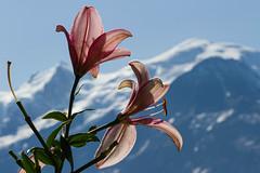 Impermanence (Larch) Tags: jardindescimes neigeséternelles impermanence fleur lys flower montagne mountain montblanc massif massifdumontblanc pétale aiguilledugoûter dômedugoûter ligne line