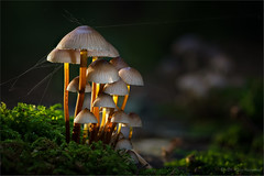 in glancing light (klaus.huppertz) Tags: fürfeld stack stacking natur nature outdoor outside pilz mushroom fungus fungi funghi mycet mycology mykologie mycobiont focusstacking dof light glancinglight houby forest woods autumn fall herbst nikon d850 zeiss milvus mycena helmling makro macro milvus1002zf natureinfocusgroup