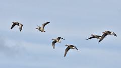 Geese in flight (42jph) Tags: nikon d7200 sigma 150500 uk england nothumberland hauxley nature reserve bird wildlife geese goose greylag flight fly flying