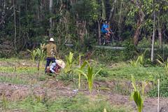 Farmers work the land in the peaceful Bang Kachao region of Bangkok (travelmag.com) Tags: chaophraya bangkachao thailand greenlung cycling nature bangkok farming