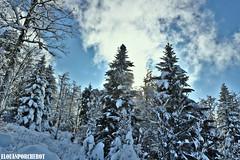 Tout est blanc ! (Elouan Astrowild) Tags: neige arbres tree sapins alpes montagne mountain france europe prèsalpes snow froid hiver fontdurle vercors drome sauvage poudreuse ciel bleu blanc altitude