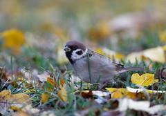 Moineau friquet - Passer montanus - Eurasian Tree Sparrow (olivier teilhard) Tags: moineaufriquet passermontanus eurasiantreesparrow oiseau nature suède canonef100400mmf4556lisiiusm canon5dmarkiv olivierteilhard