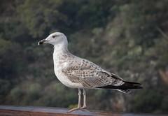 Seagull (lauracastillo5) Tags: seagull travel bird cruise animal animals nature outdoors green