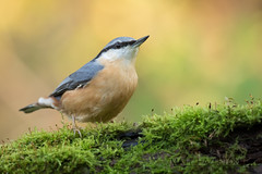 Nuthatch (Matt Hazleton) Tags: nuthatch sittaeuropaea woodland bird wildlife nature animal outdoor canon canoneos7dmk2 canon100400mm eos 7dmk2 100400mm matthazleton matthazphoto northamptonshire