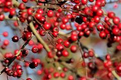 Img_7463 (steven.heywood) Tags: hawthorn haws berries