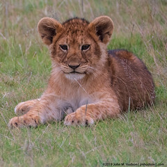 2019.06.07.3146 Lion Cub (Brunswick Forge) Tags: 2019 grouped tanzania africa serengeti serengetinationalpark outdoor outdoors animal animals animalportraits wildlife nature nikkor200500mm summer winter nikond500 day sunny cloudy clear nikonflickraward