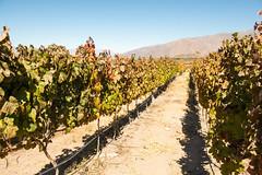 Cafayate, Argentina. (Flash Parker) Tags: 2014 adventure argentina cafayate d800 flashparker gracehotels malbec nikkor nikon southamerica travel vines wine