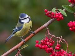 Blue tit (Jongejan) Tags: bluetit bird animal wildlife outdoor outside berries cute nature branch tree