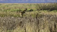 the sun on my wings (blackfox wildlife and nature imaging) Tags: olympusomd1mkii leica100400 shortearedowl bif raptor birdsofprey owls deeestuary wirral