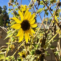 fullsizeoutput_a1b0 (lnewman333) Tags: losangeles ca usa socal southerncalifornia fallcolors november backyard nela northeastlosangeles flower blackeyedsusan bee
