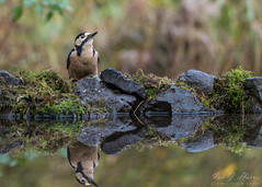 Reflecting (ian._harris) Tags: nikon d750 tamron150600mmg2 england zoom telephoto november 2019 autumn britain great gb uk united kingdom outside outdoor day camera photo photography photograph photographer picture capture image snap shot flickr visit visitor wildlife wild nature natur naturephotography tamron g2 150600 wilde animals life naturaleza greatspottedwoodpecker