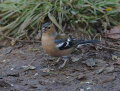 Chaffinch (cfscott66) Tags: chaffinch bird