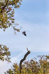 En plein vol (Mads92i) Tags: vol sky fly flying bird birds oiseaux tree arbres nature nikon nikkor ciel sly sun landscape beautiful
