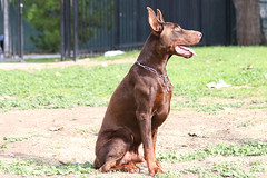 europeandobermanstud alonzo-2