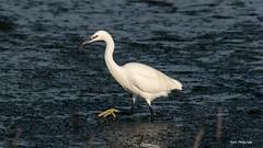 Aigrette garzette à la pêche ! (PYROS Photography) Tags: aigrette garzette marais étang oiseaux vendée 85 nature sauvage