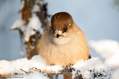 Siberian Jay! (petergranström) Tags: approved siberian jay lavskrika bird fågel snow snö crotch gren feather fjäder