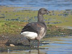 Brent Goose, CuckHvn, Nov 18 2019, P1 (2) (marilyndewar458) Tags: cuckmerehaven brent goose