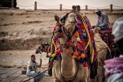 Como p'a ir de boda (Egg2704) Tags: egipto egypt dromedario desierto animal nimales naturaleza eloygonzalo egg2704 elbajeldeldesierto naturalia