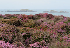 Ramsey Island, Wales (Elisa1880) Tags: heide heather heath landschap landscape natuur nature ramsey island wales