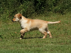 On Point (Diane Marshman) Tags: thedude the dude golden retriever puppy pup brown white fur coat male point pointing large dog breed pet companion grass summer pa pennsylvania state nature young immature