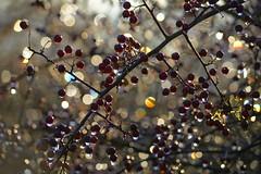 ByStarlight (Tony Tooth) Tags: nikon d7100 nikkor 55300mm berries redberries bokeh droplets sunlight backlit surreal leek staffs staffordshire