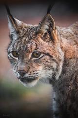 Lynx portrait (Soren Wolf) Tags: animal animals lynx lynxes warm closeup big cat cats beautiful portrait nopeople close outdoors head nikon d750 300mm