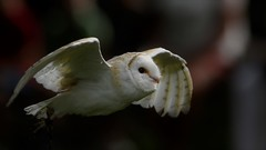barn owl (Paul wrights reserved) Tags: owl owls barnowl bird birds birding birdphotography birdinflight birdofprey birdofpreyinflight animal animals