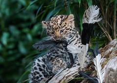 Feathers (muppet1970) Tags: amurleopard cub feathers enrichment colchesterzoo zoo captive bigcat cat