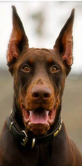 europeandobermanstud alonzo-18