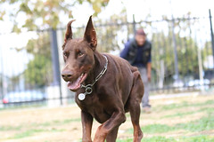 europeandobermanstud alonzo-6