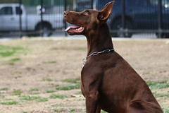 europeandobermanstud alonzo-4