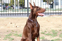 europeandobermanstud alonzo-1