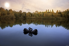 The black swans (www.Janedewaard.nl) Tags: hoogvliet rotterdam the netherlands 010 nature naturelovers lover lake blue trees swans black