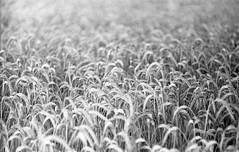 RYE (NaKliszy) Tags: rye grain blackandwhite bw countryside country plant flora agro rural agricultural