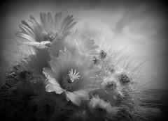 Parodia (fotomie2009) Tags: cactus cacti cactaceae succulent succulenta flora flower fiore monochrome monocromo bw parodia