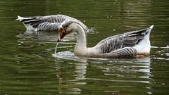 Two geese (Steenjep) Tags: botaniskhave botanicalgarden have garden park holiday ferie kreta crete greece grækenland urlaub platanias bird fugl goose gås vand water dam pond