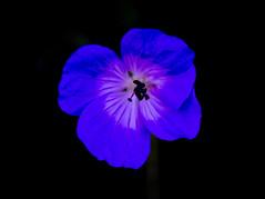 Flowers (ost_jean) Tags: nikon d5300 tamron sp 90mm f28 di vc usd macro 11 f004n ostjean flowers nature natuur black zwart blue blauw bleu contrast