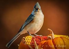 Tufted Titmouse - Autumn 2019 (bumpplayball) Tags: bird autumn titmouse nature wildlife portrait landscape