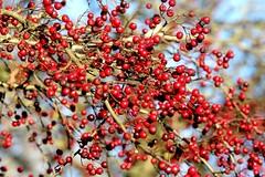 Img_7462 (steven.heywood) Tags: hawthorn haws berries