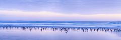 The Gathering (jbarc in BC) Tags: seagulls seagull birds flock beach surf waves sand cloud sky z7 evening tripod longexposure panorama pacific westcoast bandonbeach bandon oregon nikonz7 coast tide tidal