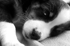 Frida 1 Woche bei uns (glaserei) Tags: hunde hund haustier australianshepherd frida schwarzweis bw