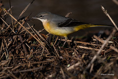 SEH_0336 (S HEALEY PHOTOS) Tags: birds wagtail greywagtail uk nikon wildlife
