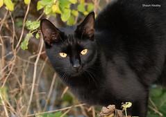SEH_9981 (S HEALEY PHOTOS) Tags: birds wagtail greywagtail uk nikon