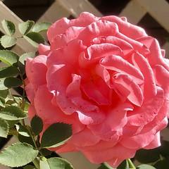 fullsizeoutput_a1a1 (lnewman333) Tags: losangeles ca usa socal southerncalifornia fallcolors november backyard nela northeastlosangeles rose