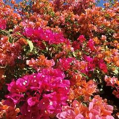 fullsizeoutput_a1ab (lnewman333) Tags: losangeles ca usa socal southerncalifornia fallcolors november backyard nela northeastlosangeles flowers bougainvillea