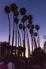 Palm Trees Silhouette at Los Angeles Arboretum (SCSQ4) Tags: 2019 arcadia art california chineselanternfestival chineselanterns favorite favoritepicture lantern lanternfestival lanterns lightshow losangelesarboretum moonlightforest moonlightforest2019 moonlightforestla night nightphotography palmtrees silhouette sunset twilight
